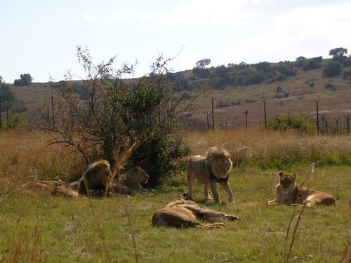 Lazy_lions_2